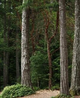 der h chste baum der welt der k stenmammutbaum hyperion der h chste baum in deutschland ist. Black Bedroom Furniture Sets. Home Design Ideas